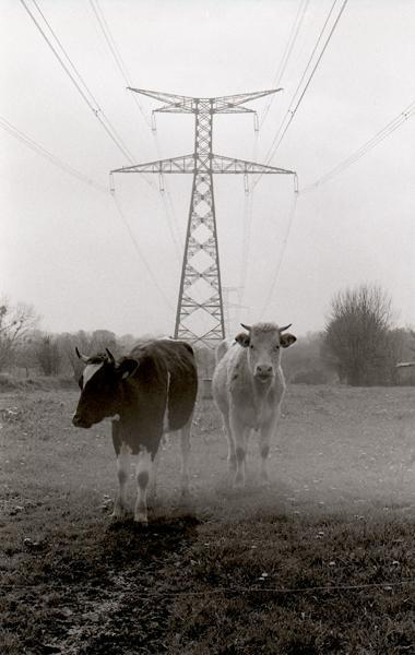 Vaches chargées